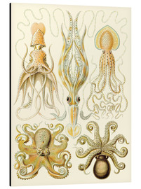 Alu-Dibond  Squid and octopi - Ernst Haeckel
