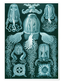 Ernst Haeckel - Cubomedusae or box jellyfish
