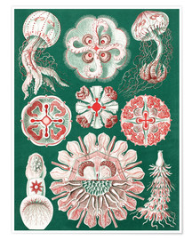 Premium poster  Chart of jellyfish species - Ernst Haeckel