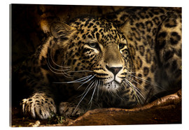 Acrylic print  Leopard on the lookout - Edith Albuschat