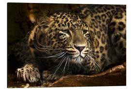 Aluminium print  Leopard on the lookout - Edith Albuschat