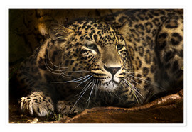 Premium poster  Leopard on the lookout - Edith Albuschat