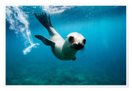 Premium poster Curious California Sea Lion