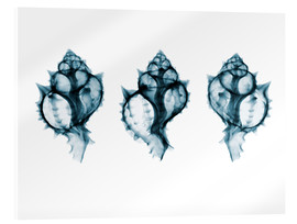 Acrylic glass  Shells, coloured X-ray