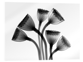 Acrylic glass  Lotus seedheads, X-ray