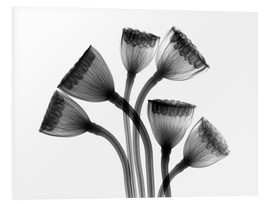 Foam board print  Lotus seedheads, X-ray