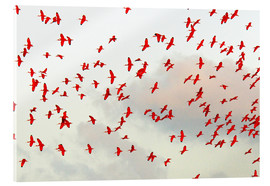 Acrylic glass  Scarlet ibis (Eudocimus ruber) flock in flight