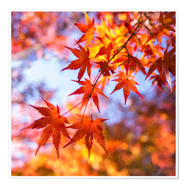 Premium poster Japanese ornamental maple in Kyoto, Japan