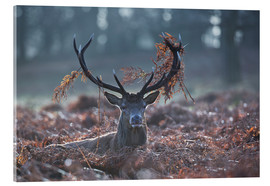 Acrylic print  Deer stag in the brushwood - Alex Saberi