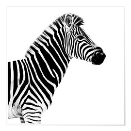 Premium poster  Zebra on white - Philippe HUGONNARD