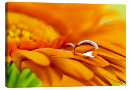 Canvas print  Gerbera with drops - Atteloi