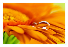 Premium poster Gerbera with drops