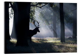 Acrylic print  Stag in the morning light - Alex Saberi
