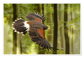 Premium poster  Birds of Prey - WildlifePhotography