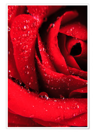 Premium poster  Red rose with water drops