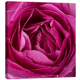 Canvas  Pink rose with water drops
