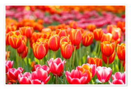 Poster  Colorful tulips field