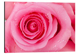 Alu-Dibond  Pink rose blossom with dew