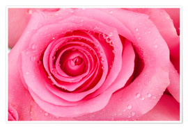 Premium poster  Pink rose blossom with dew