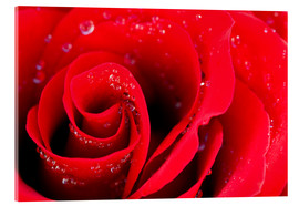 Acrylic glass  Red rose bloom with dew drops