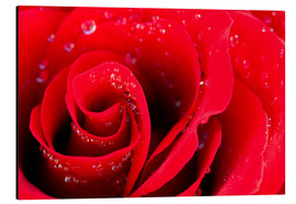 Alu-Dibond  Red rose bloom with dew drops
