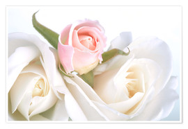 Premium poster  Roses on a white background