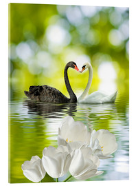 Acrylic print  Two swans in love