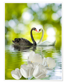 Premium poster  Two swans in love