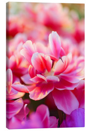 Canvas  Pink Zizanie tulips