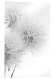 Acrylic glass  Fluffy dandelions on white background