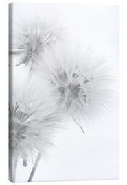 Canvas print  Fluffy dandelions on white background