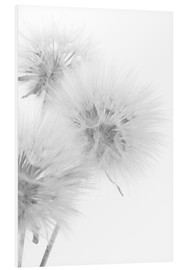Foam board print  Fluffy dandelions on white background