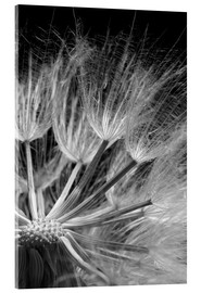 Acrylic glass  Dandelion on black background