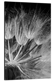 Alu-Dibond  Dandelion on black background