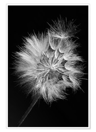 Poster Dandelion on black background