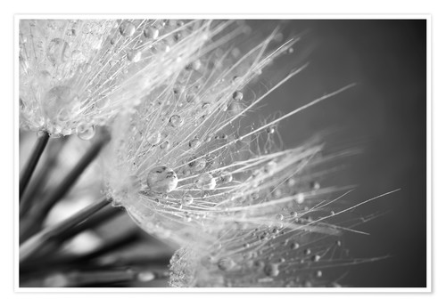 Poster Dandelion with water drops