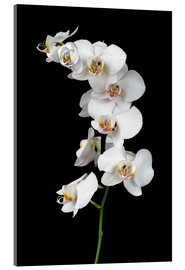 Acrylic print  White orchid on a black background