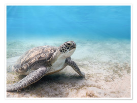 Poster  Green sea turtle