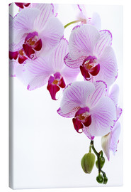 Canvas  Orchid branch