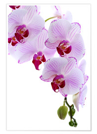 Poster  Orchid branch