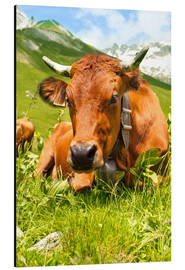 Aluminium print  Cow with bell on Mountain Pasture
