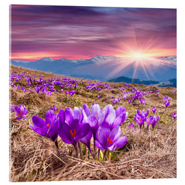 Acrylic glass  Crocuses in spring in the mountains