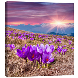Canvas print  Crocuses in spring in the mountains