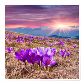 Premium poster Crocuses in spring in the mountains