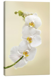 Canvas print  White orchid