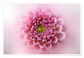 Premium poster Pink and soft dahlia