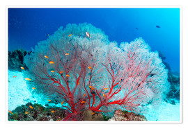 Poster  Melithaea sea fan and lyretail anthias