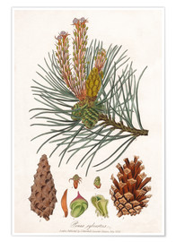 structures of the Scots pine (Pinus sylvestris)