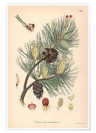 Premium poster  structures of the Scots pine (Pinus sylvestris)