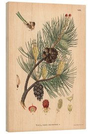 Wood print  structures of the Scots pine (Pinus sylvestris)